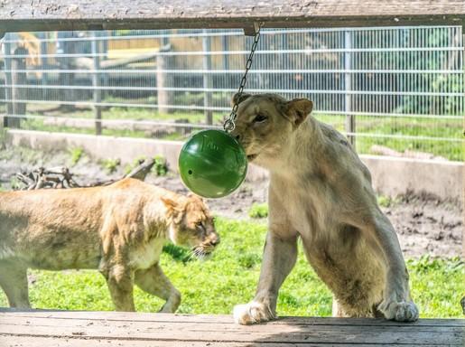 Fehér oroszlán labdával, Kép: e.on