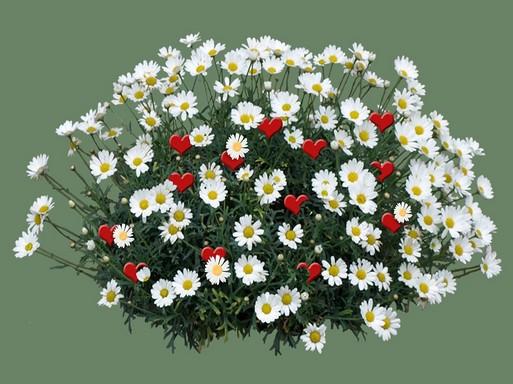 Margaréták sivecskékkel, Kép: pixabay