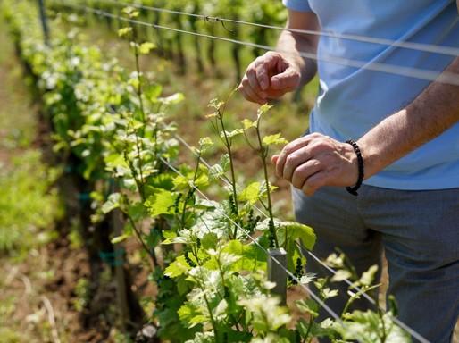 Sarjad a szőlő, Kép: Busák Attila