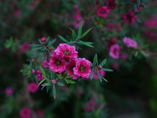 Virágzó bokor, Kép: zoldgyep.hu