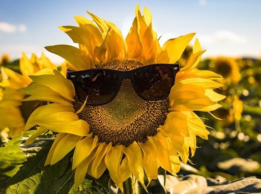 Napraforgó napszemüvegben, Kép: pixabay