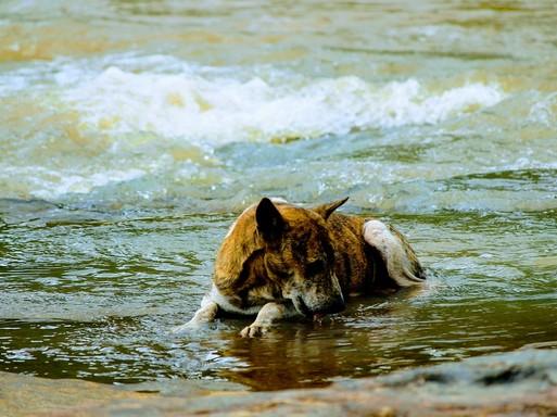 Szomjas kutya, Kép: pixabay