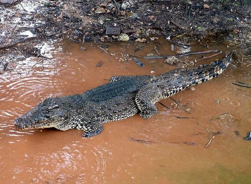 Crocodylus Rhombifer, Kép: wikimedia