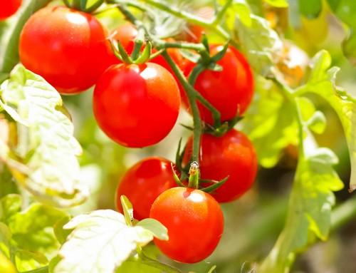 Paradicsom, Kép: homeopatia.info.hu