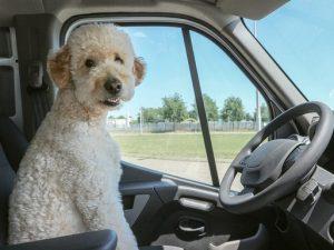 Kutya a volánnál, Kép: pixabay