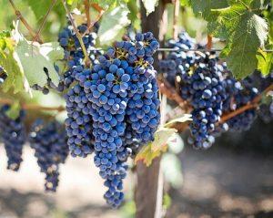 szőlő: Pixabay